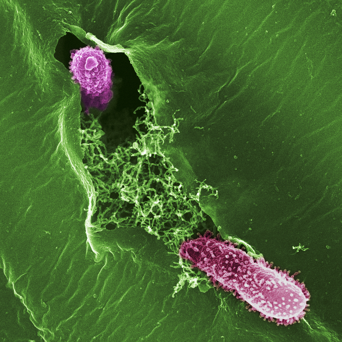 Two Pseudomonas bacteria entering a plant leaf.